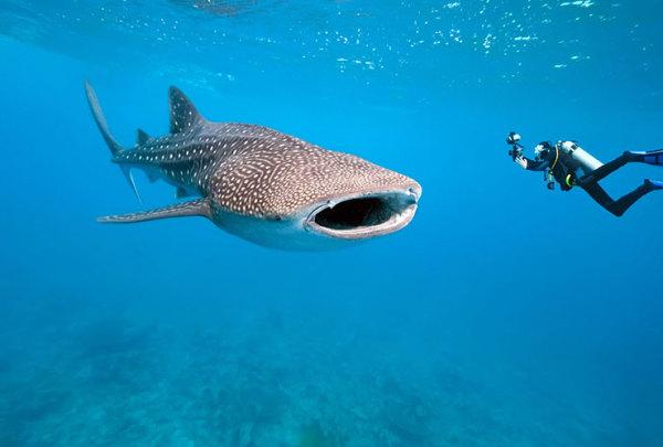 Курорт Канкун и Китовые акулы